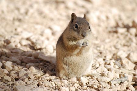 Cute Golden-mantled Ground Squirrel on the ground, nature wildlife