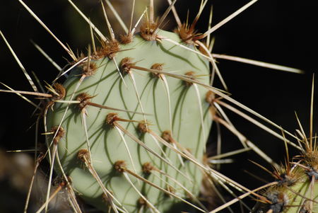 Green cactus close up with sharp spines, Arizona desert
