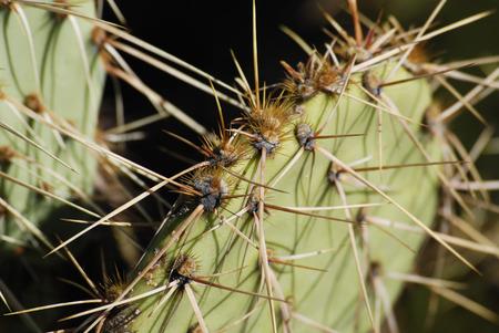 Sharp cactus spines close up, desert of Arizona