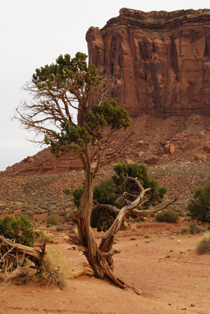 Tree in red desert landscape of Monument Valley, Utah, USA