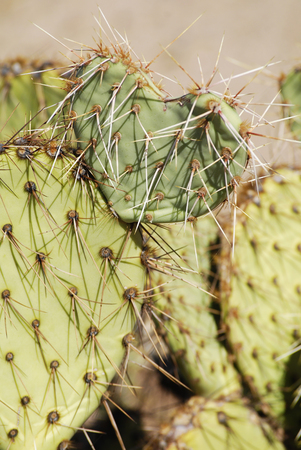 Cactus in heart shape with sharp spines, close up