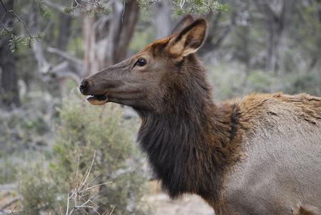Female elk portrait, close up; forest of Grand Canyon, Arizona, USA