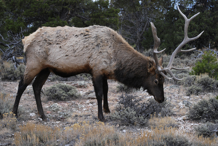 Beautiful male elk in the forest of Grand Canyon, Arizona, USA Stok Fotoğraf