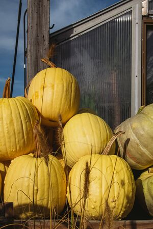 Pumpkin mellow yellow, big pumpkin pile on a market, outside; fall harvesting season, October