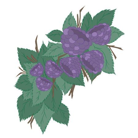 dewberry: Blackberries on branches.Vector illustration, bright, hand-drawn Illustration