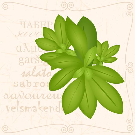 Sprig of savory in vintage style with green leaves. Ilustrace