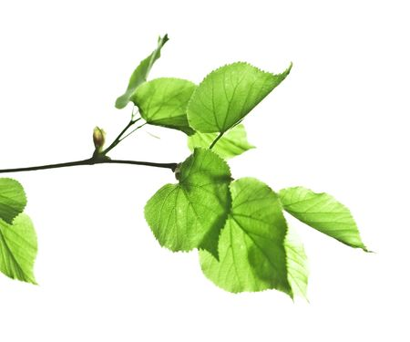 Branch of a linden with leaves on a white background photo