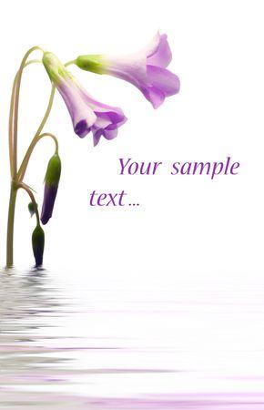 congratulatory: congratulatory card whise Violet flower