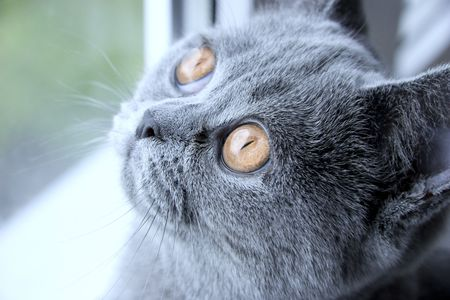 Portrait of sad British grey cat close up photo