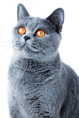 beautiful grey british cat isolated on white background close up photo