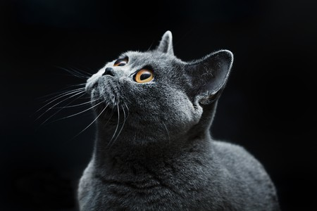 snout of cat with dark yellow eyes photo