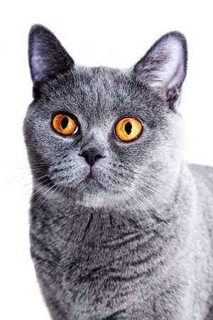 Young beautiful gray British cat  on a white background photo