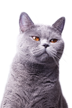 Portrait of a beautiful gray shorthair British cat with bright yellow eyes isolated on a white background photo