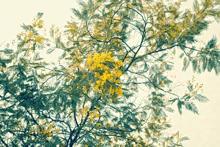 mimosa branch with yellow flowers against the sky photo