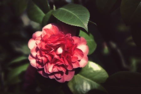 Japanese camellia pink flower on a bush close-up photo
