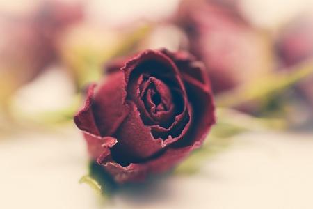 flores secas: Secado closeup Rosa flores rojas
