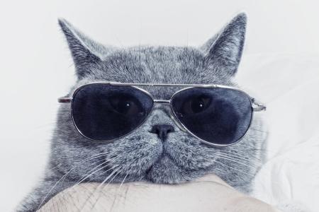 gafas de sol: Hocico gracioso del gato gris brit�nico en gafas de sol de primer plano
