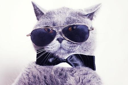 Portré a brit rövidszőrű szürke macska napszemüveget visel, és a nyakkendő csokornyakkendő Stock fotó