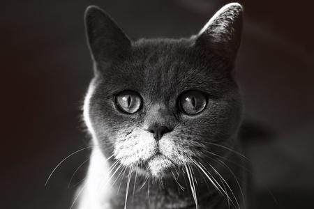 Muzzle of Grey British Cat closeup photo