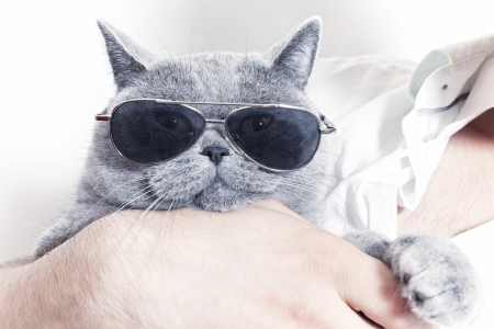 Funny muzzle of gray British cat in sunglasses closeup  photo