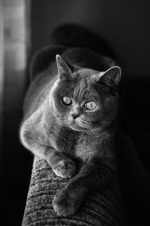 British gray cat lying in the window close up photo