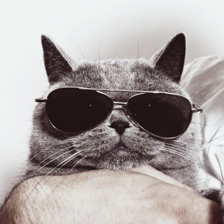 Funny muzzle of gray British cat in sunglasses closeup