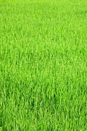 Texture of Young green rice plants close up photo