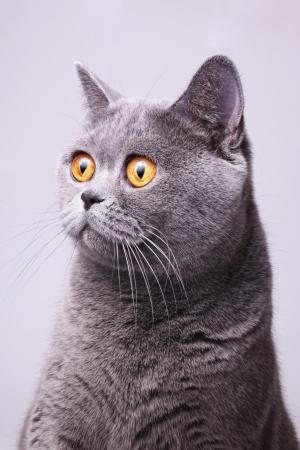 Portré a szürke rövidszőrű brit, Macska, fényes, sárga, szemek, fehér, háttér Stock fotó