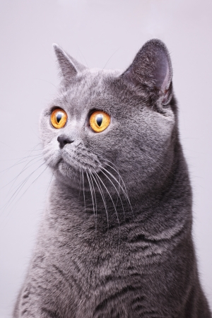 Portrait of gray shorthair British cat with bright yellow eyes on a white background Stock Photo