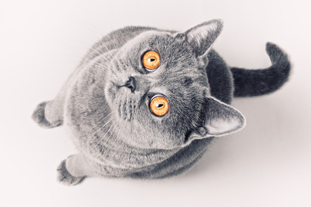 Portrait of gray shorthair British cat with bright yellow eyes on a white background