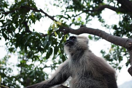 hanuman langur: Hanuman Langur monkey on the tree in India Stock Photo