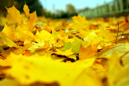 Fallen yellow maple leaves on the ground closeup Stock Photo
