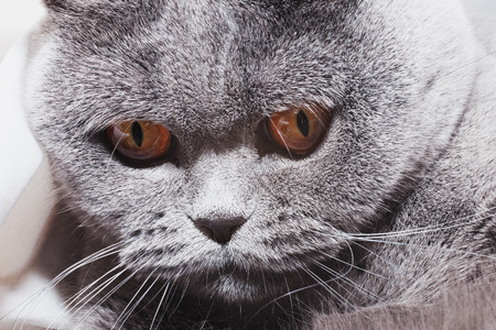 Funny gray British cat with bright yellow eyes close-up