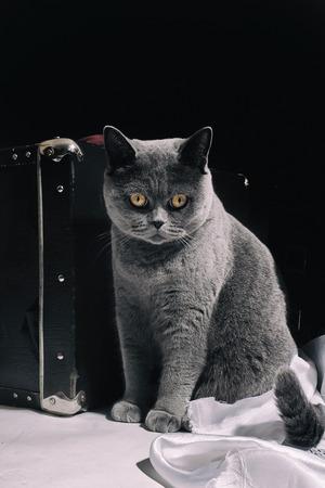 gray cat: Gray British cat  sitting near suitcase closeup Stock Photo