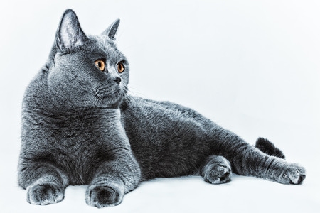 Portrait of beautiful young short-haired British gray cat with yellow eyes on a light background Stock Photo