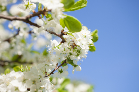 Branch of apple tree with blooming flowers closeup Stock Photo