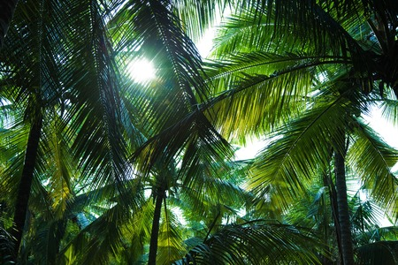 palm leaf: Tall coconut palm trees against the sky