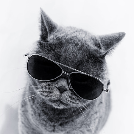 Portrait of British shorthair gray cat wearing sunglasses
