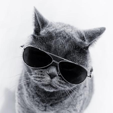 Portrait of British shorthair gray cat wearing sunglasses