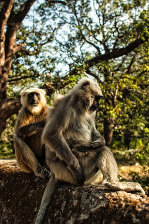 gray langur: Two langur monkeys in the forest Stock Photo