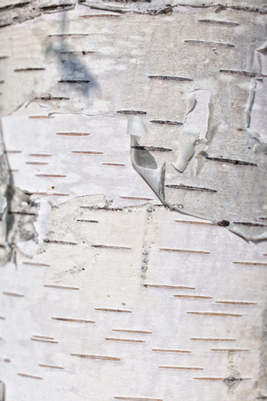 bark: Texture of birch bark close up Stock Photo