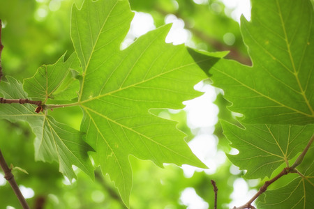 sycamore: Green sycamore leaves on a branch macro