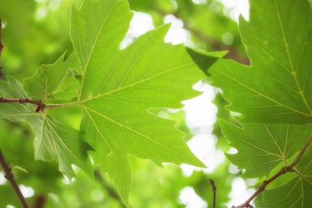 sicomoro: Verde Sycamore foglie su un ramo macro