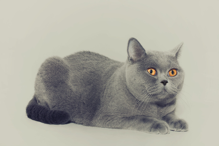 shorthaired: Portrait of beautiful young short-haired British gray cat with yellow eyes on a light background Stock Photo