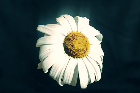 chamomile flower: Fading flower chamomile close up
