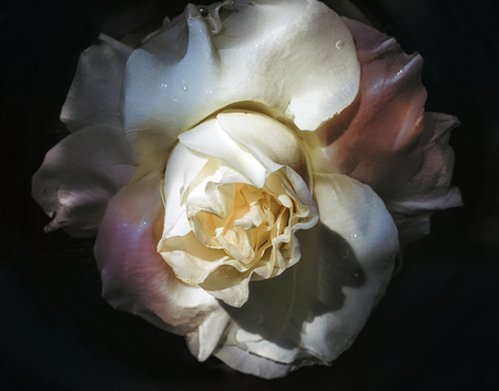 wilting: Wet flower of a withering white rose closeup Stock Photo