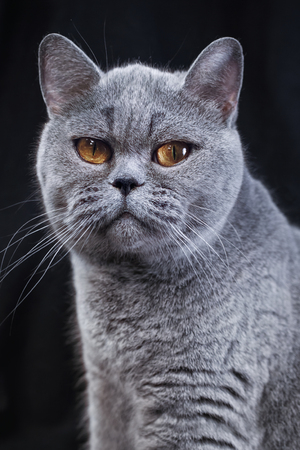 Portrait of a gray British shorthair cat on a black background Imagens