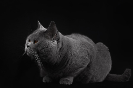 Gray shorthair British cat lying on a black background