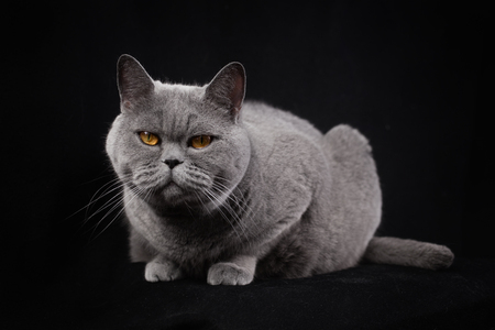 Gray silvery shorthair British cat lying on a black background Imagens