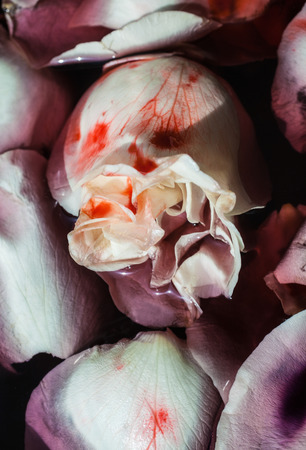 Petals of white rose flowers in water with blood. Floral Art Background Imagens